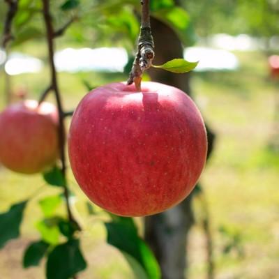 青森県鶴田町では、つがる、千秋、紅玉、世界一、ジョナゴールド、北斗、サン陸奥、陸奥、サンふじ、ふじ、金星などおいしさにこだわった津軽の代表りんごが収穫されています