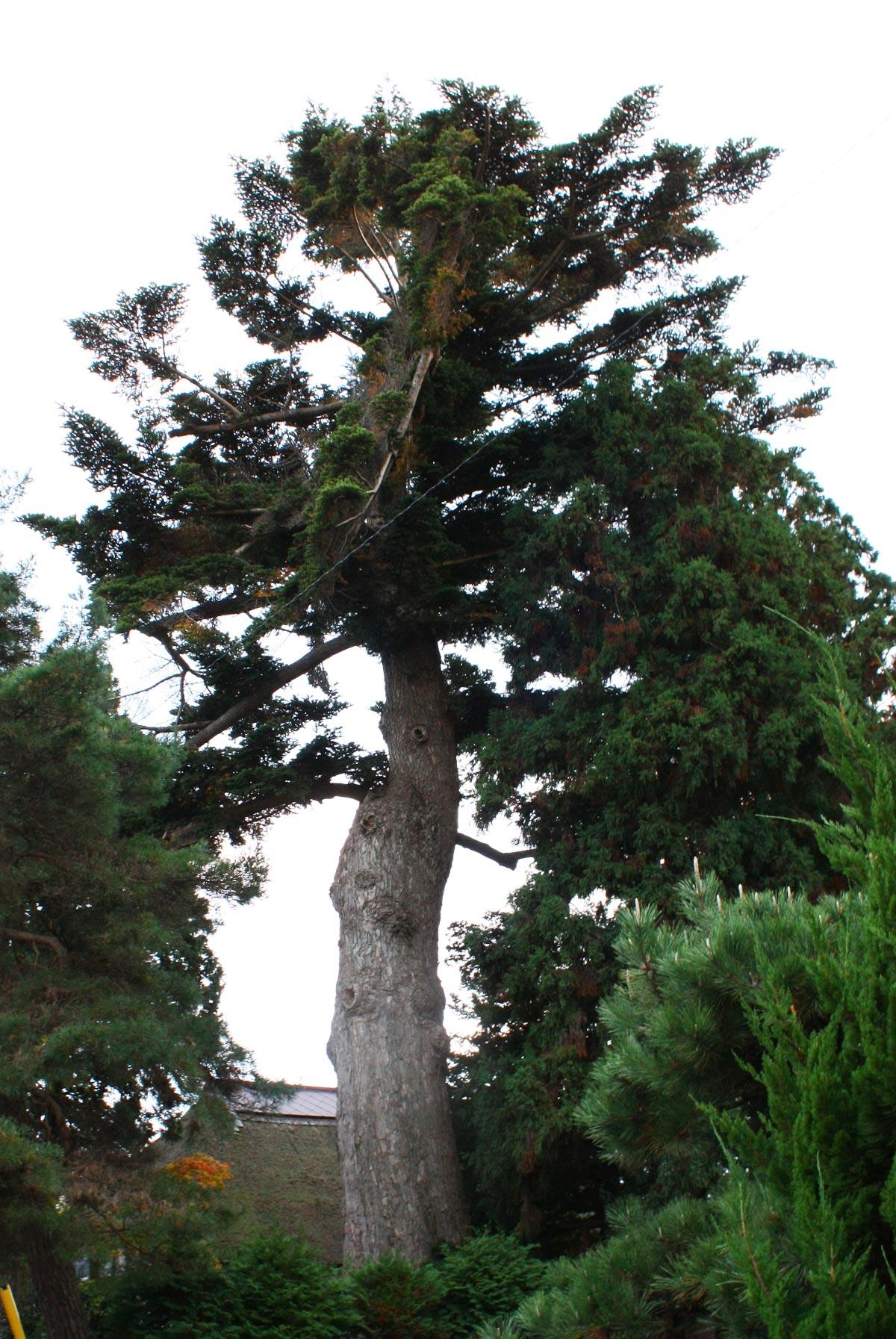 推定樹齢は350年・樹高約30mのモミの木