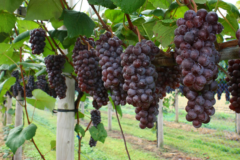 ポリフェノールの一種、天然色素成分アントシアニンは、白内障・眼精疲労・血行障害に有効と言われていますが、スチューベンなど紫色の果物の皮に多く含まれています
