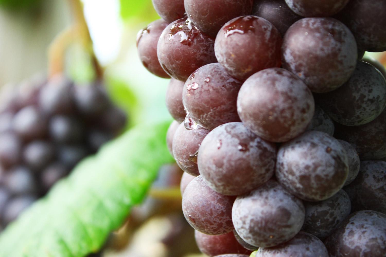 鶴田町ではナイアガラとケルナーという品種も栽培されています