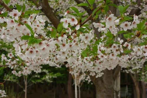 第7回津軽富士見湖「桜まつり」平成25年5月3~5日