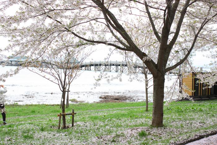 富士見湖パーク 桜