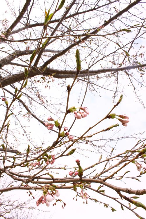 津軽富士見湖パークの桜