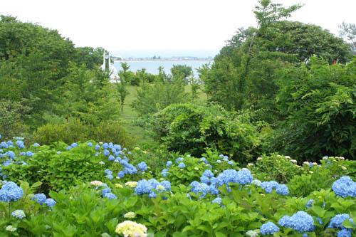 富士見湖パーク 紫陽花