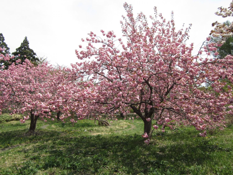 富士見湖パーク 八重桜