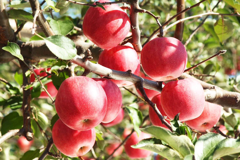 りんごもぎ取り体験