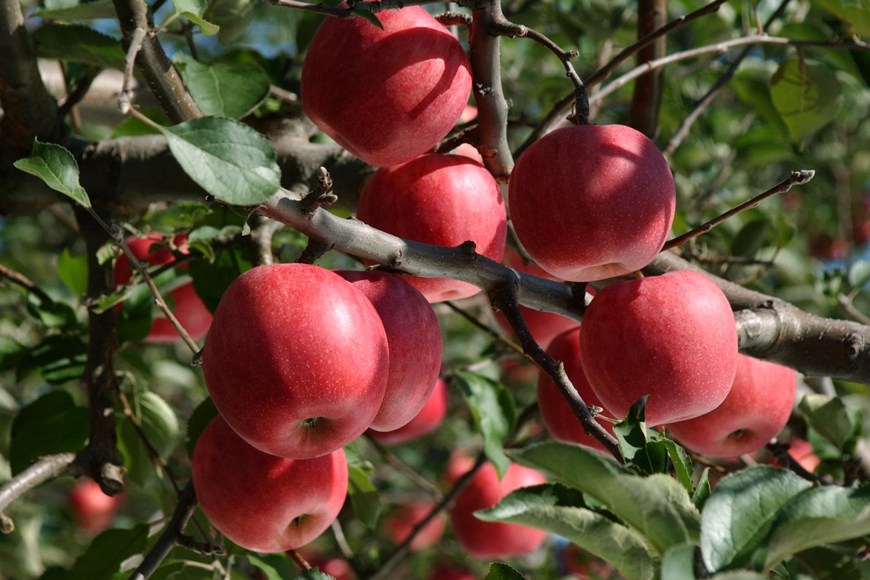 観光りんご園でもぎ取り体験をすることができる。採れたてで新鮮なリンゴをぜひ食べてほしい。