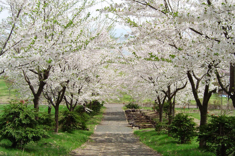 津軽富士見湖桜まつりは毎年たくさんの人で賑わう