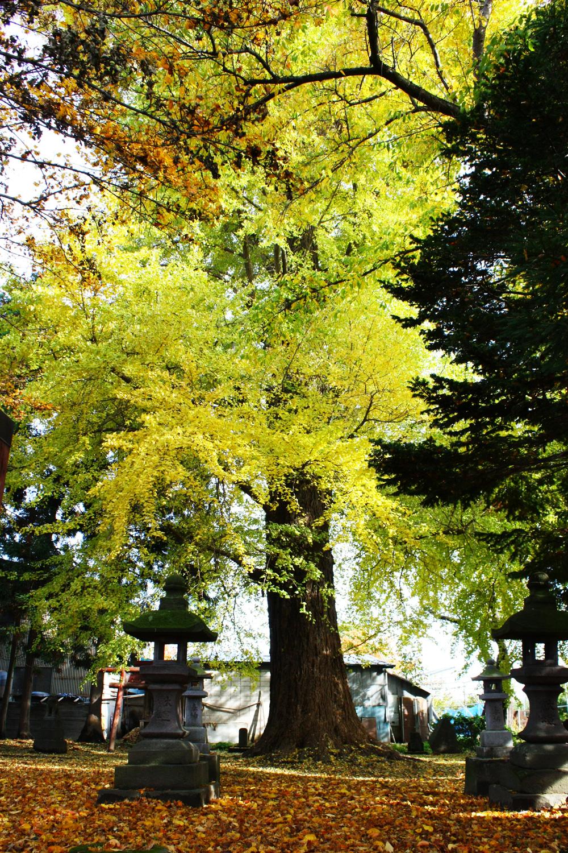 何百年もここに根をはってきた地域の守り神。鶴田町の歴史、人々を見守ってきた。
