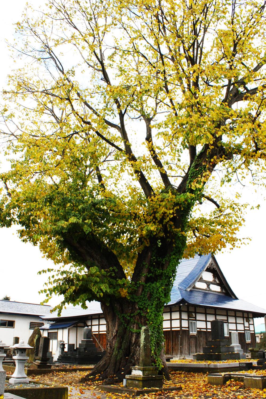 浄林寺のシナノキは、浄林寺の裏側に植わっている。