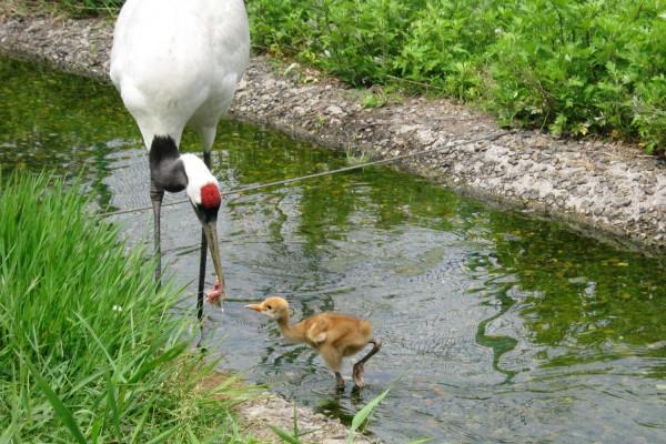 丹頂鶴自然公園で2012年誕生のヒナ