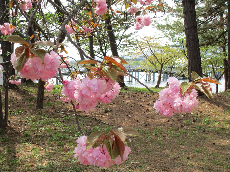 2018年5月8日 青森県鶴田町 富士見湖パークの様子