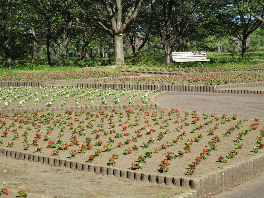 植栽後のベゴニア